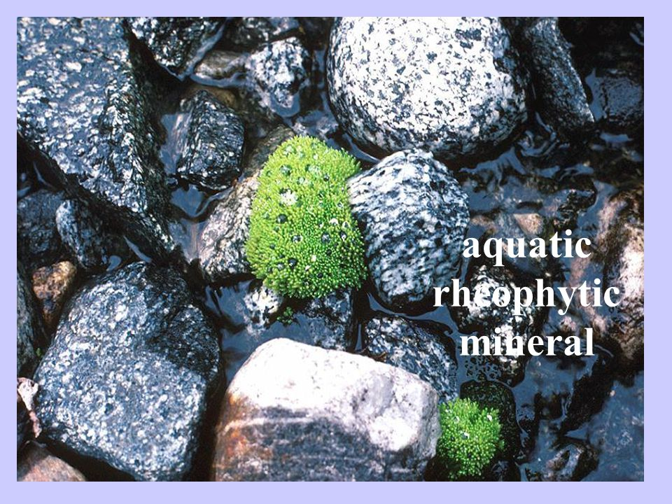 aquatic rheophytic mineral