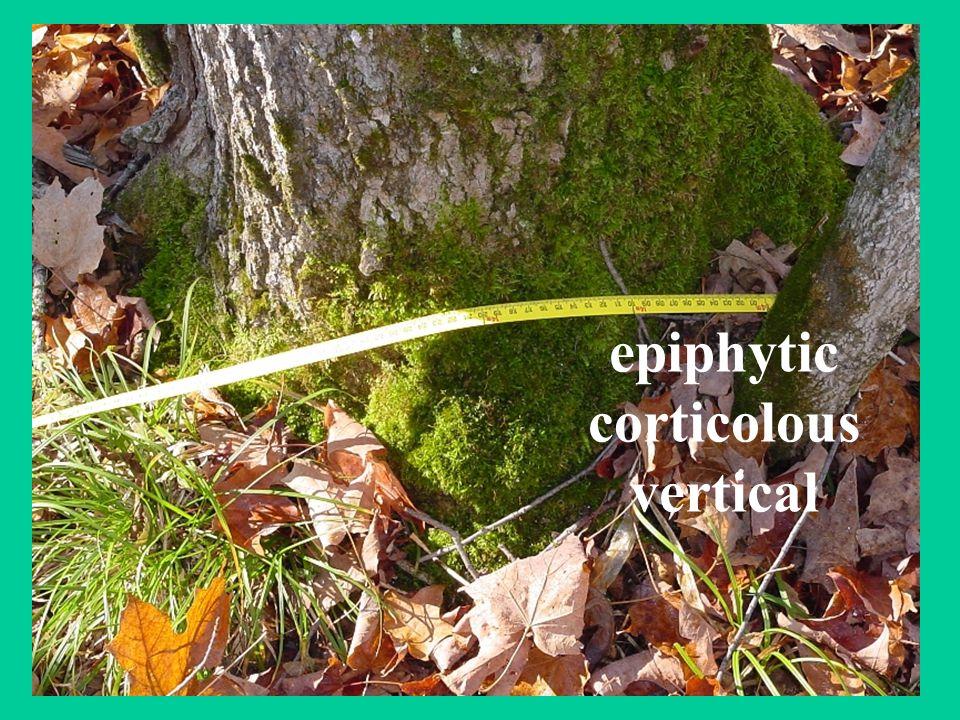 epiphytic corticolous vertical