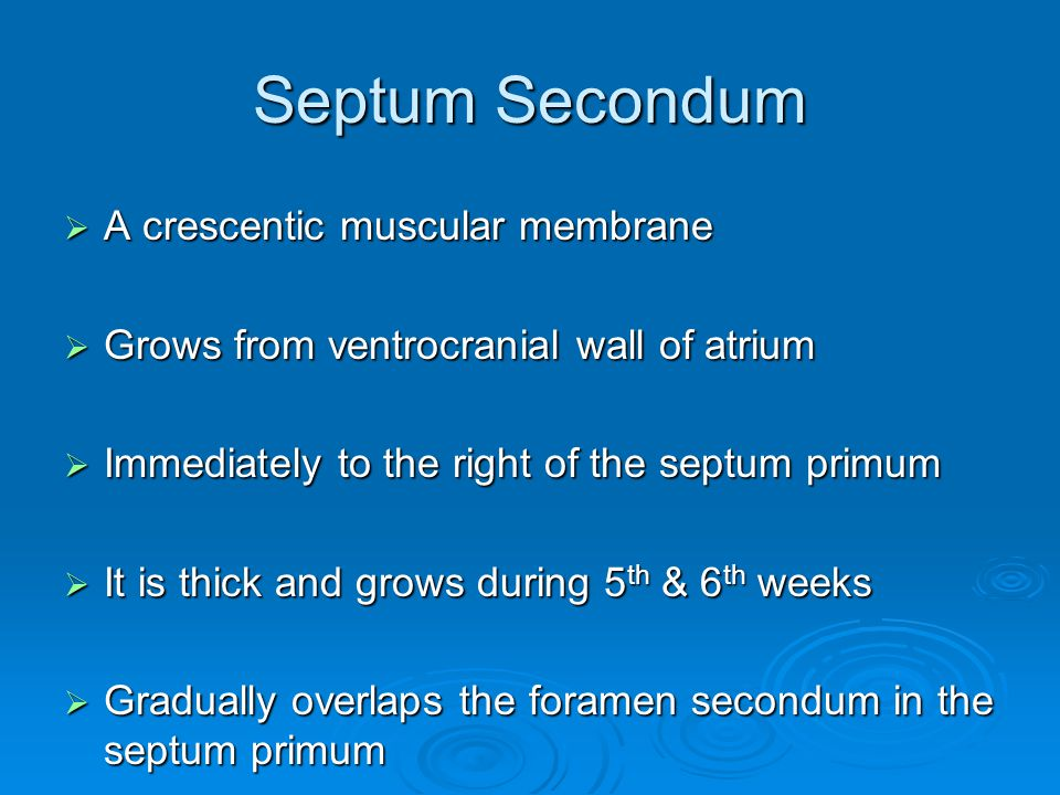 Septum Secondum  A crescentic muscular membrane  Grows from ventrocranial wall of atrium  Immediately to the right of the septum primum  It is thi