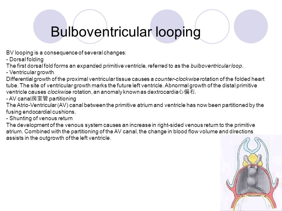Bulboventricular looping BV looping is a consequence of several changes: - Dorsal folding The first dorsal fold forms an expanded primitive ventricle,