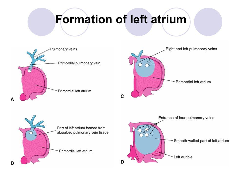 IVS PartOrigin muscular ventricular wall membranous fused bulbar ridges 球狀脊 fused endocardial cushions AP - aorticopulmonary; ECC - endocardial cushion; Blue arrow - direction of bulbar ridge growth; Red arrow - direction of ventricular growth Interventricular septum formation