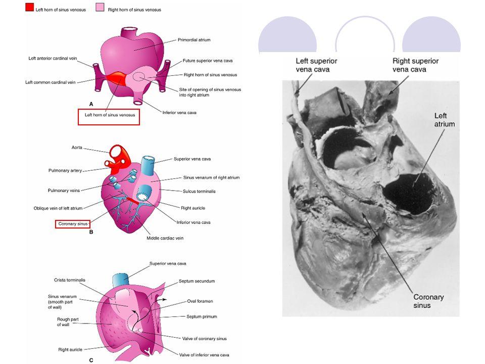 Arterial system development