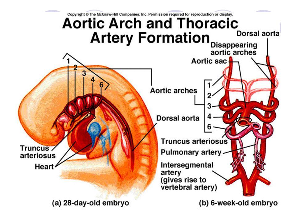 Aortic arch derivatives 動脈導管 動脈韌帶