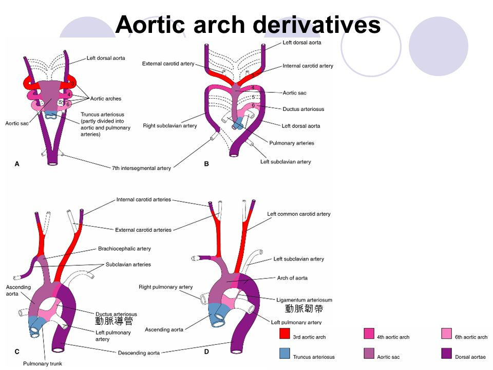 Recurrent laryngeal n. and 6th aortic arch