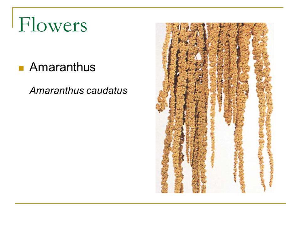Flowers Amaranthus Amaranthus caudatus