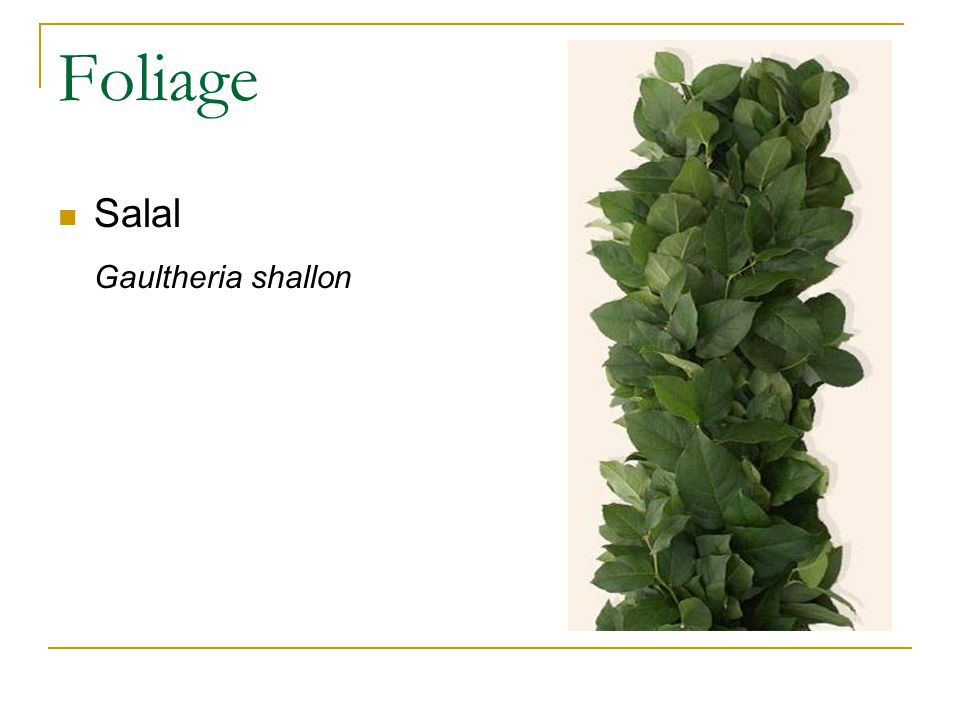 Foliage Salal Gaultheria shallon