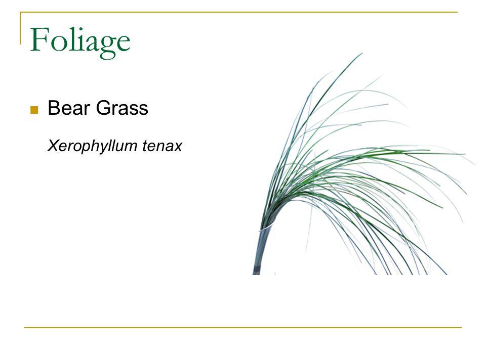 Foliage Bear Grass Xerophyllum tenax
