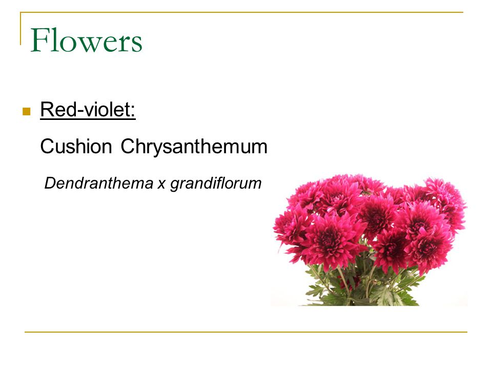 Flowers Red-violet: Cushion Chrysanthemum Dendranthema x grandiflorum