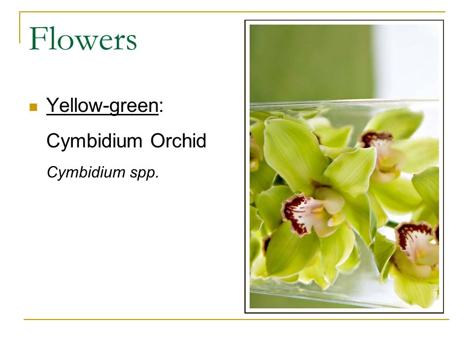 Flowers Yellow-green: Cymbidium Orchid Cymbidium spp.