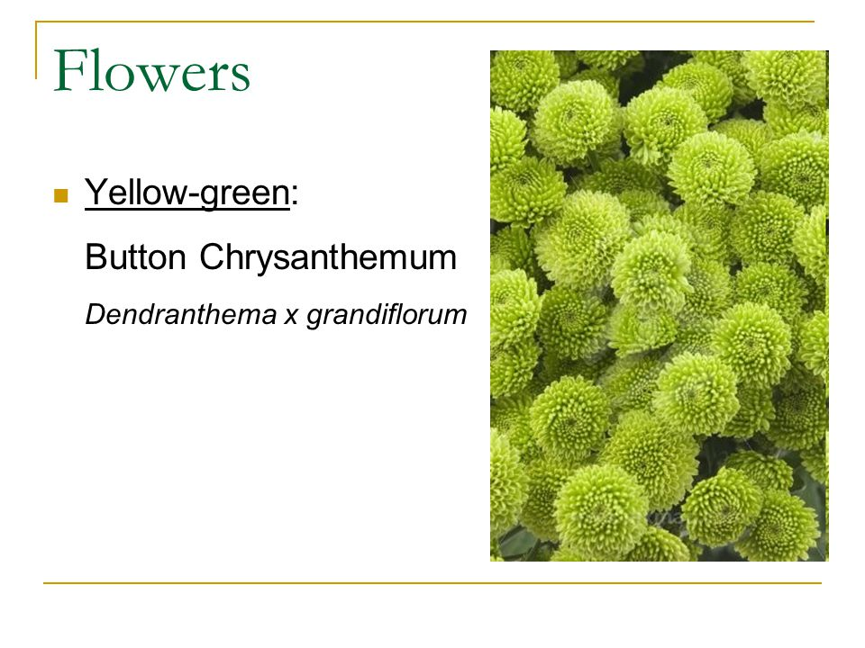 Flowers Yellow-green: Button Chrysanthemum Dendranthema x grandiflorum