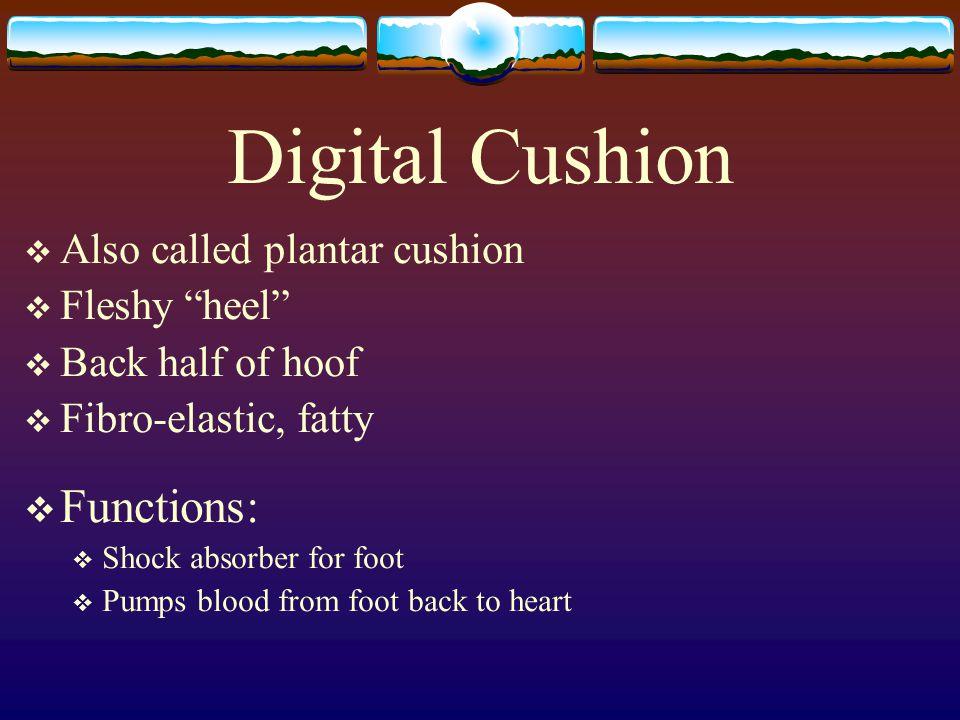 "Digital Cushion  Also called plantar cushion  Fleshy ""heel""  Back half of hoof  Fibro-elastic, fatty  Functions:  Shock absorber for foot  Pump"