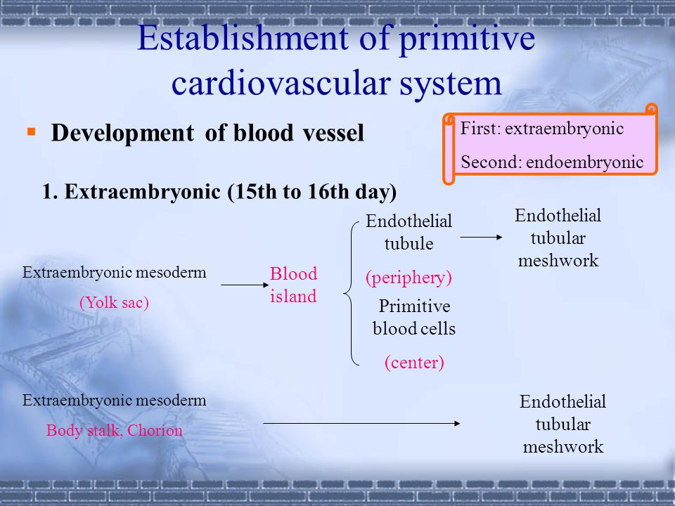 Establishment of primitive cardiovascular system  Development of blood vessel First: extraembryonic Second: endoembryonic 1.