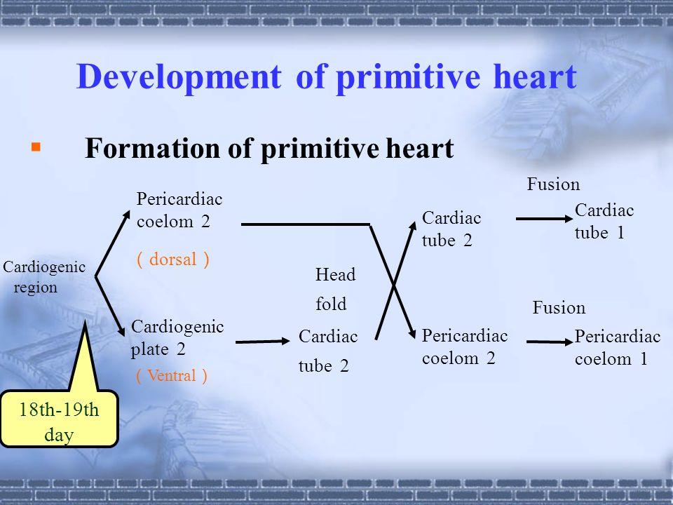Development of primitive heart  Formation of primitive heart Cardiogenic region Pericardiac coelom 2 ( dorsal ) Cardiogenic plate 2 ( Ventral ) Cardiac tube 2 Head fold Cardiac tube 2 Pericardiac coelom 2 18th-19th day Cardiac tube 1 Pericardiac coelom 1 Fusion