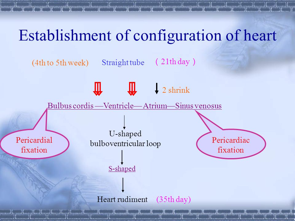 Establishment of configuration of heart Straight tube Bulbus cordis —Ventricle— Atrium—Sinus venosus 2 shrink Pericardial fixation Pericardiac fixation ( 21th day ) (4th to 5th week) S-shaped Heart rudiment (35th day) U-shaped bulboventricular loop