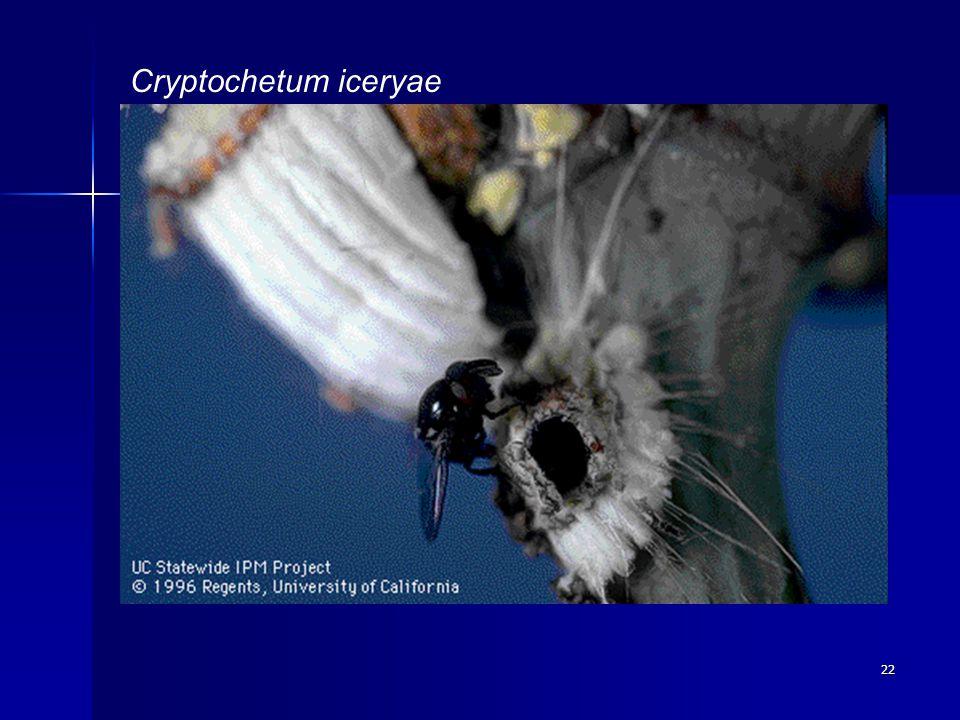 22 Cryptochetum iceryae