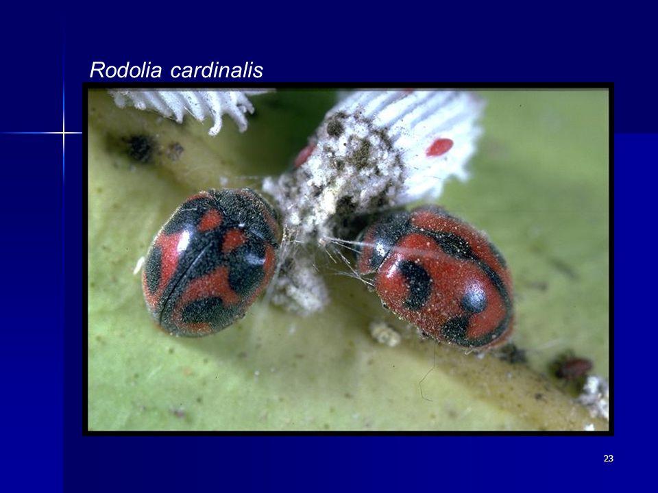 23 Rodolia cardinalis