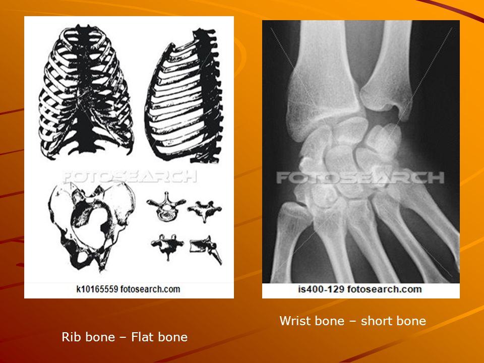 Rib bone – Flat bone Wrist bone – short bone