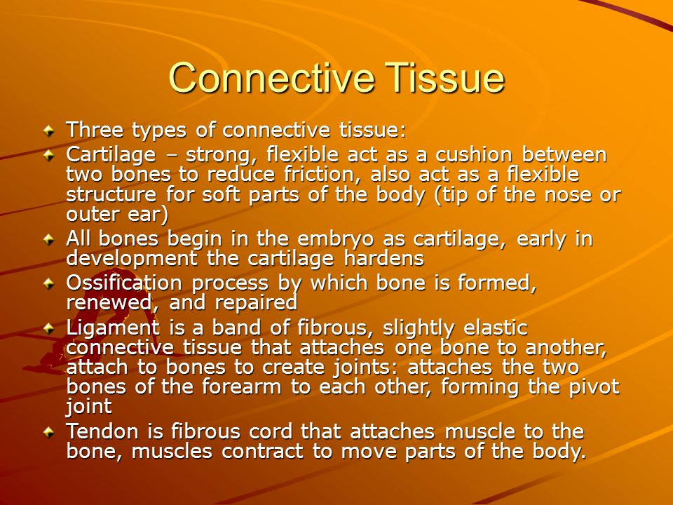 Connective Tissue Three types of connective tissue: Cartilage – strong, flexible act as a cushion between two bones to reduce friction, also act as a flexible structure for soft parts of the body (tip of the nose or outer ear) All bones begin in the embryo as cartilage, early in development the cartilage hardens Ossification process by which bone is formed, renewed, and repaired Ligament is a band of fibrous, slightly elastic connective tissue that attaches one bone to another, attach to bones to create joints: attaches the two bones of the forearm to each other, forming the pivot joint Tendon is fibrous cord that attaches muscle to the bone, muscles contract to move parts of the body.