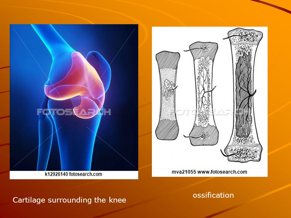 Cartilage surrounding the knee ossification