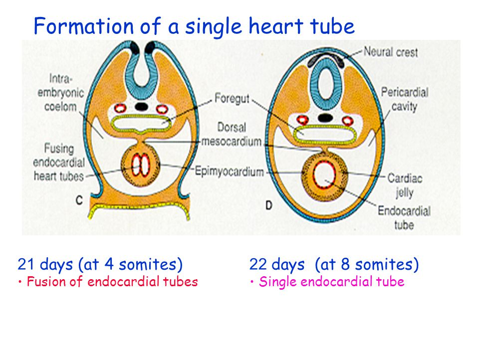 Formation of a single heart tube early presomite embryo (17 days) late presomite embryo (18 days)
