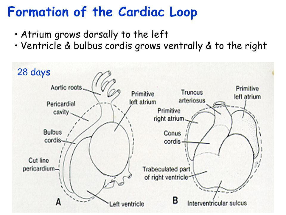 Formation of the Cardiac Loop 24 days (16 somites) Primitive atrium moves up into the pericardial cavity