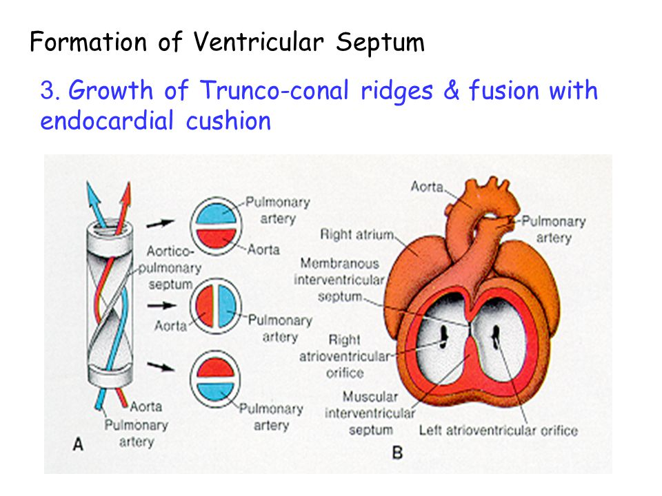 1. Medial wall of ventricles form muscular intervent. septum 2. Outgrowth of inf. EC to close interventricular foramen. (= membranous interventricular