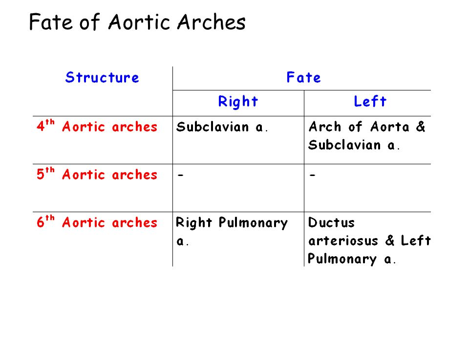 Fate of Aortic Arches