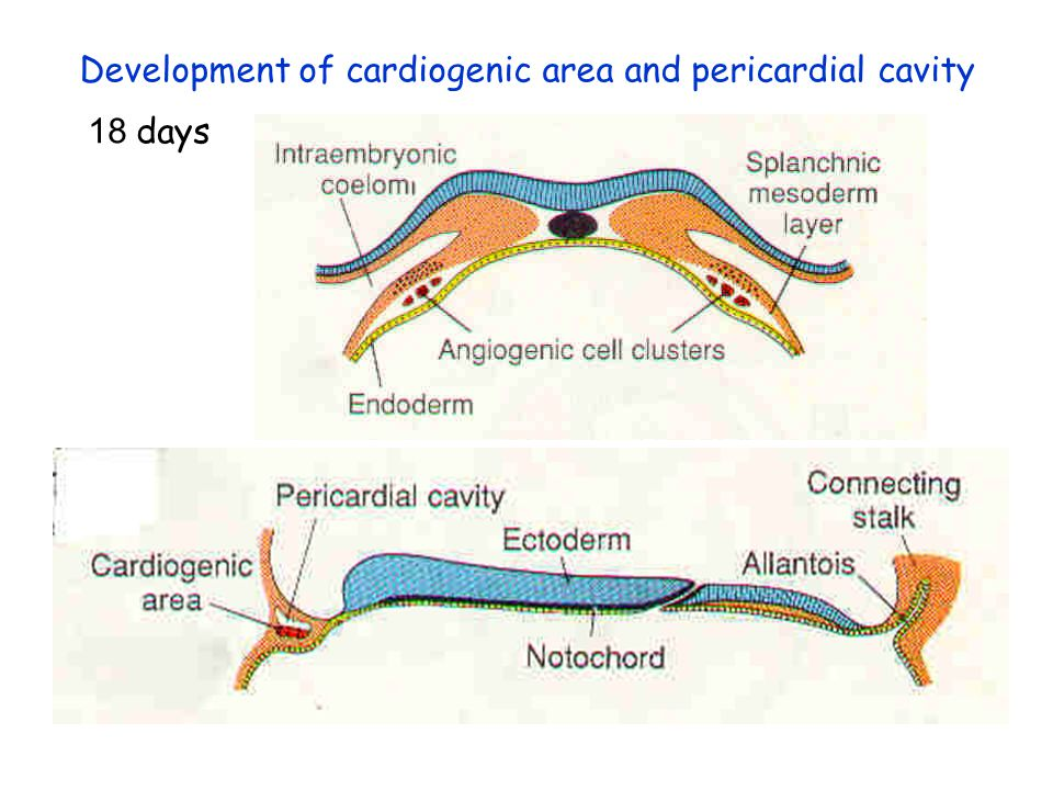 Mesenchymal cells (Splanchnic mesoderm) Development of Cardiogenic Area Angiogenic clusters plexus of small blood vessels ant. portion = cardiogenic a