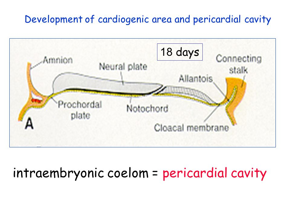 Development of cardiogenic area and pericardial cavity 18 days