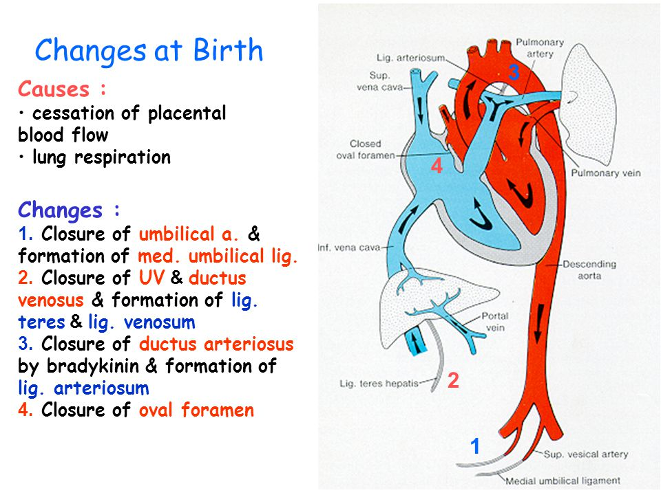 High oxygen content decreased in : I Liver II IVC III Rt. atrium IV Lt. atrium V Desc. Aorta (at the entrance of ductus arteriosus) Fetal Circulation