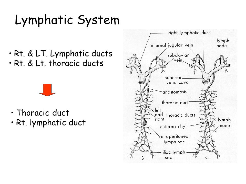 Lymphatic System 5 wk. origin : mesenchyme or out growth of endothelium of veins 6 primary lymph sacs are formed : - 2 jugular lymph sacs - 2 iliac ly
