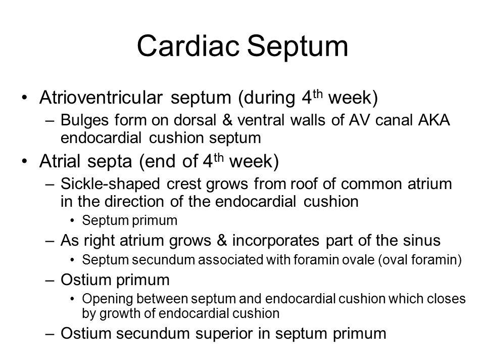 Cardiac Septum Atrioventricular septum (during 4 th week) –Bulges form on dorsal & ventral walls of AV canal AKA endocardial cushion septum Atrial sep
