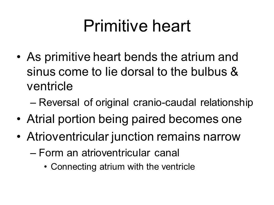 Primitive heart As primitive heart bends the atrium and sinus come to lie dorsal to the bulbus & ventricle –Reversal of original cranio-caudal relatio