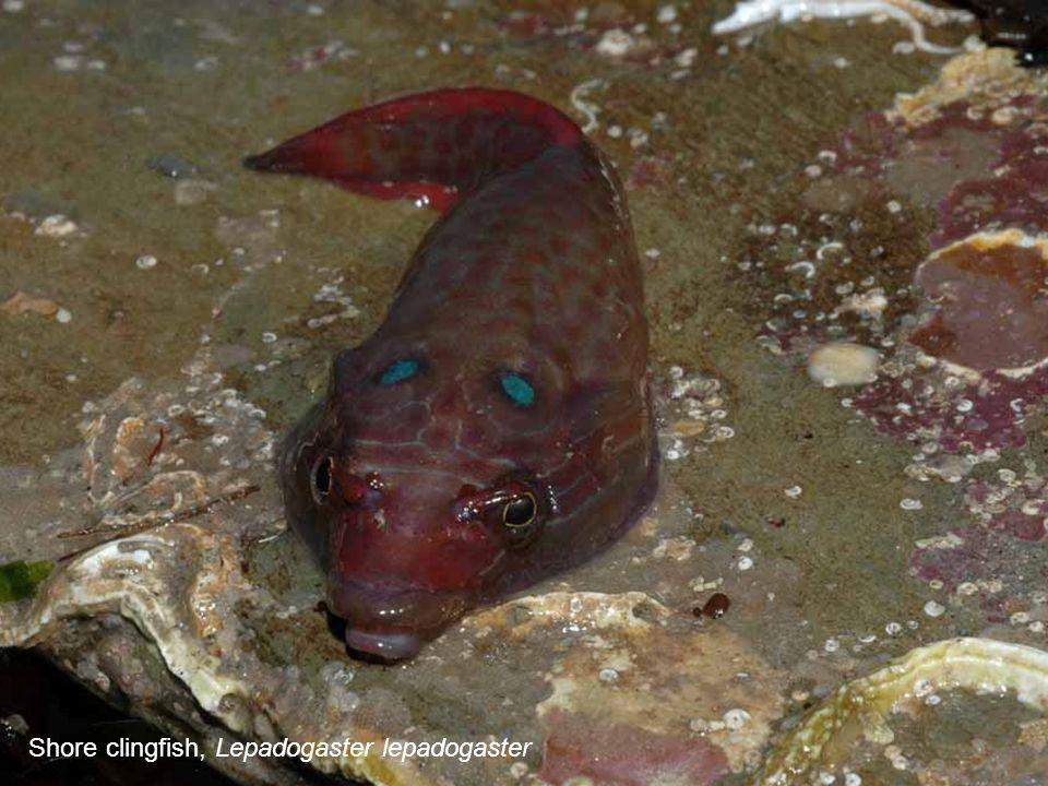 Shore clingfish, Lepadogaster lepadogaster
