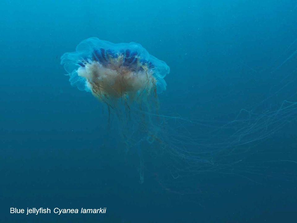 Blue jellyfish Cyanea lamarkii
