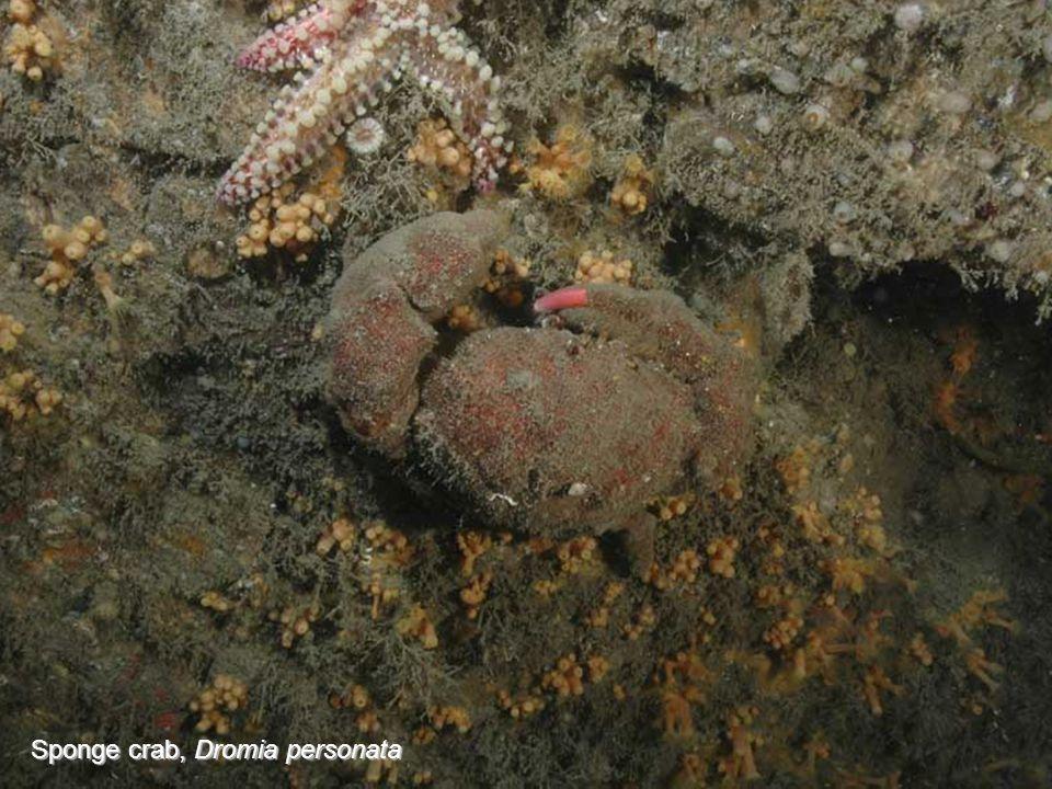 Sponge crab, Dromia personata