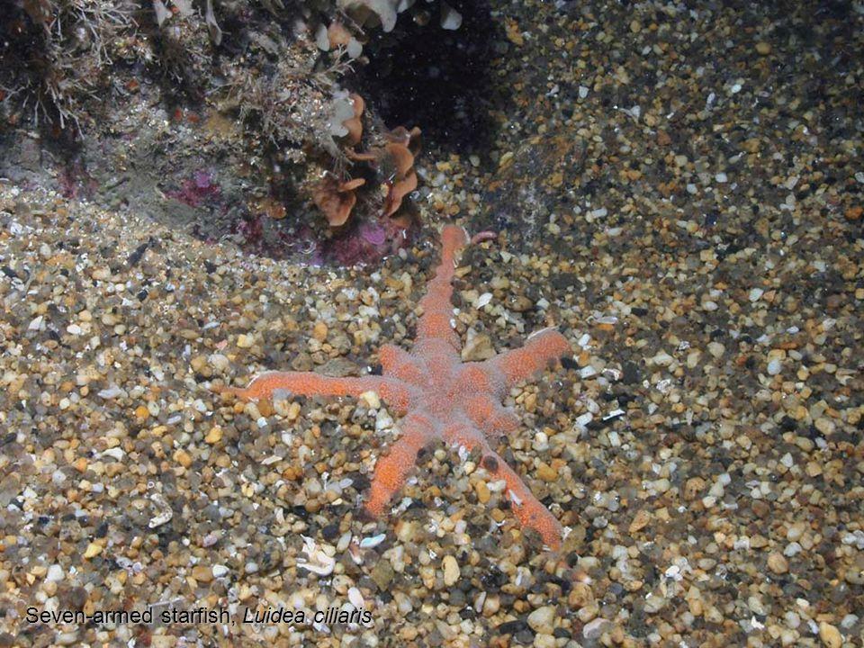 Seven-armed starfish, Luidea ciliaris