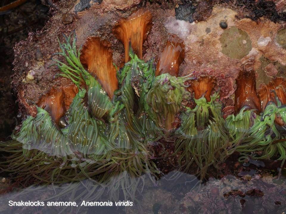 Trumpet anemone Parazoanthus axinellae