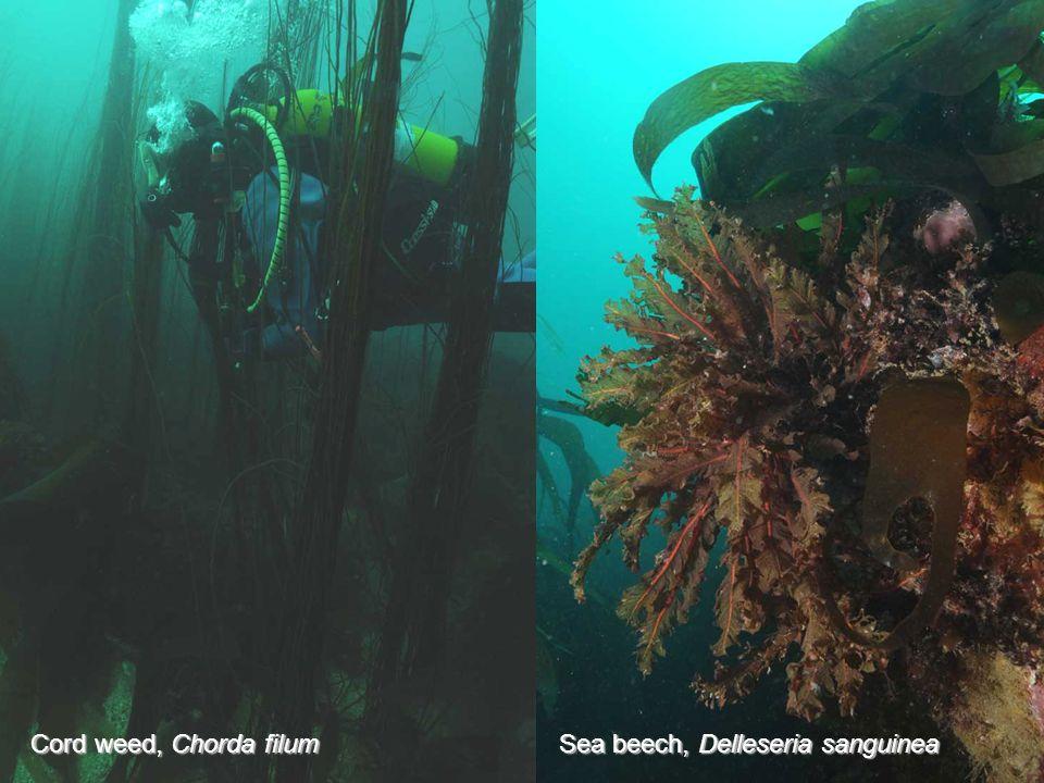 Cord weed, Chorda filum Sea beech, Delleseria sanguinea