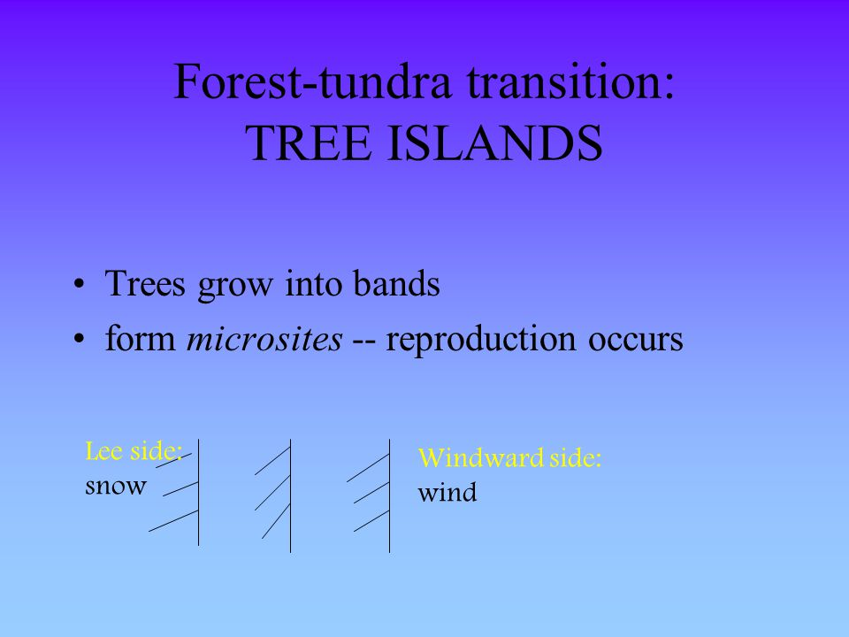 Forest-tundra transition: TREE ISLANDS Trees grow into bands form microsites -- reproduction occurs Windward side: wind Lee side: snow