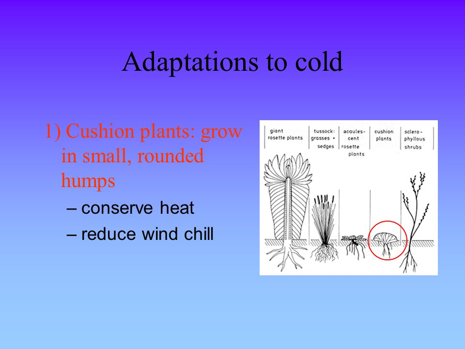 Adaptations to cold 1) Cushion plants: grow in small, rounded humps –conserve heat –reduce wind chill