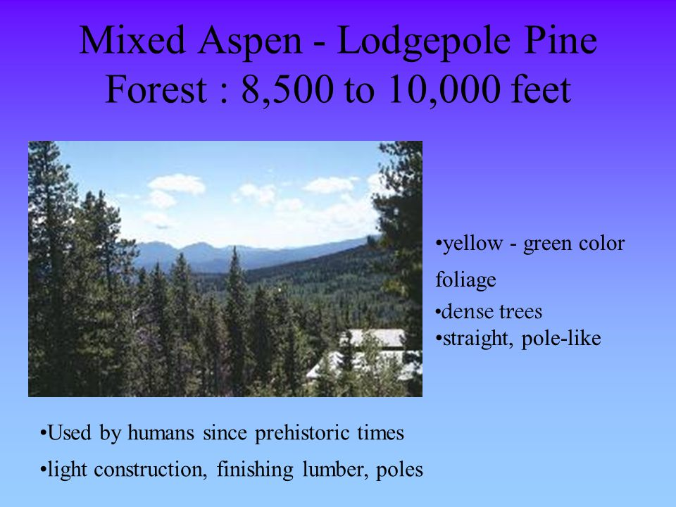 Mixed Aspen - Lodgepole Pine Forest : 8,500 to 10,000 feet yellow - green color foliage dense trees straight, pole-like Used by humans since prehistor