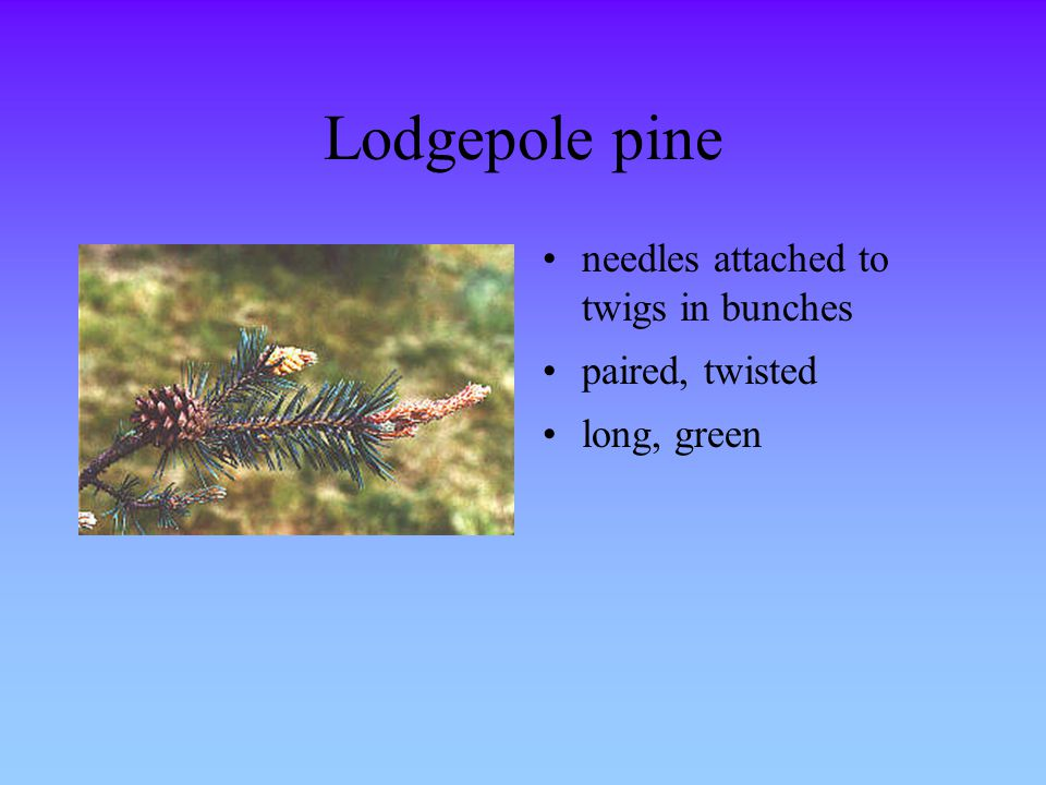 Lodgepole pine needles attached to twigs in bunches paired, twisted long, green