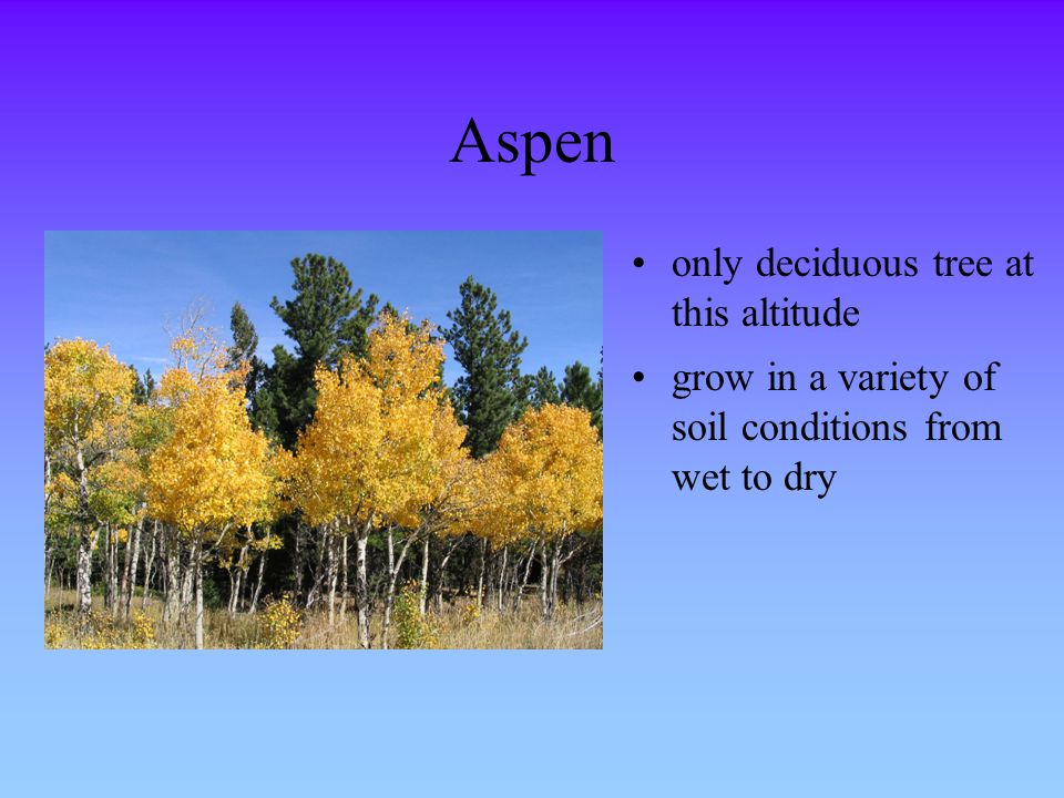 Aspen only deciduous tree at this altitude grow in a variety of soil conditions from wet to dry