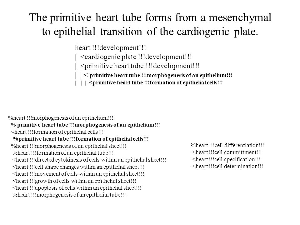 The primitive heart tube forms from a mesenchymal to epithelial transition of the cardiogenic plate.