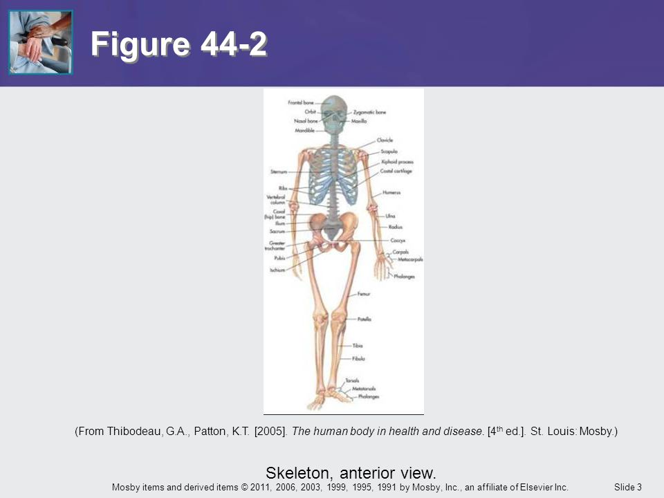 Slide 3Mosby items and derived items © 2011, 2006, 2003, 1999, 1995, 1991 by Mosby, Inc., an affiliate of Elsevier Inc. Figure 44-2 Skeleton, anterior