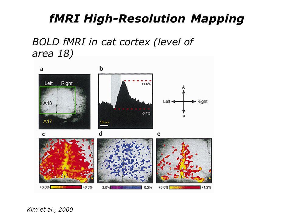 fMRI High-Resolution Mapping Kim et al., 2000 BOLD fMRI in cat cortex (level of area 18)