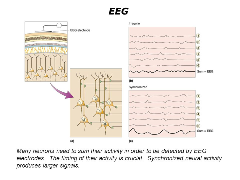 The Electroencephalogram A simple circuit to generate rhythmic activity