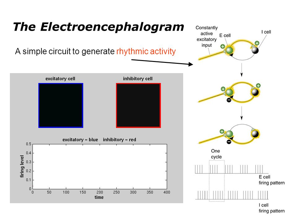 The Electroencephalogram Two ways of generating synchronicity: a) pacemaker; b) mutual coordination 1600 oscillators (excitatory cells) un-coordinatedcoordinated