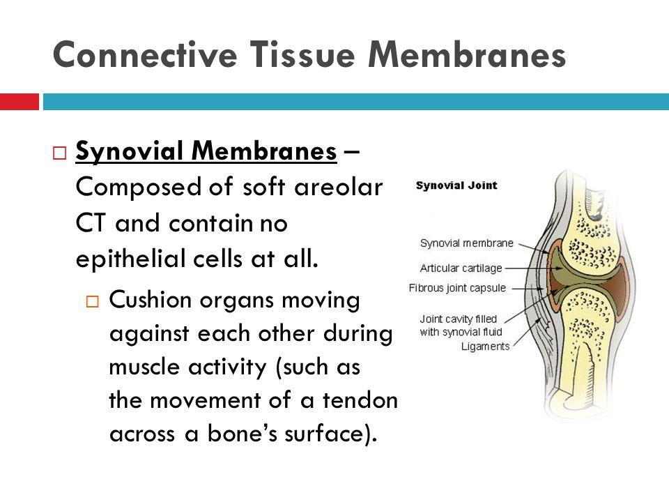 Connective Tissue Membranes  Synovial Membranes – Composed of soft areolar CT and contain no epithelial cells at all.  Cushion organs moving against